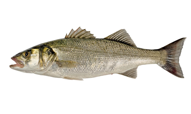 Download Sea Bass stock image. Image of bass, body, single, isolated - 12771727