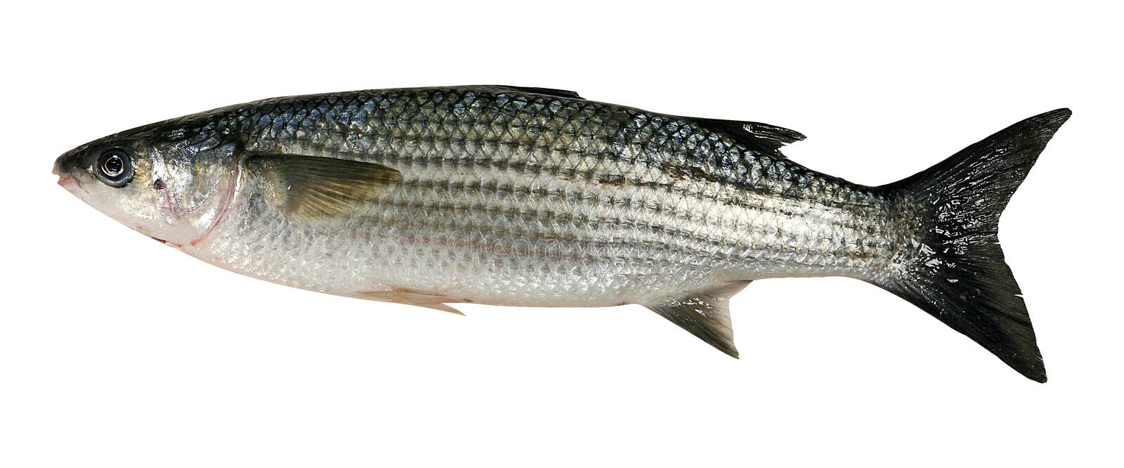 Sea bass. Fish isolated on white with clipping path stock photography