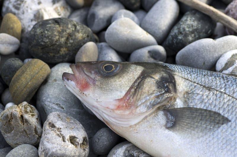 Sea bass. Close up of a sea bass on a beach royalty free stock photos