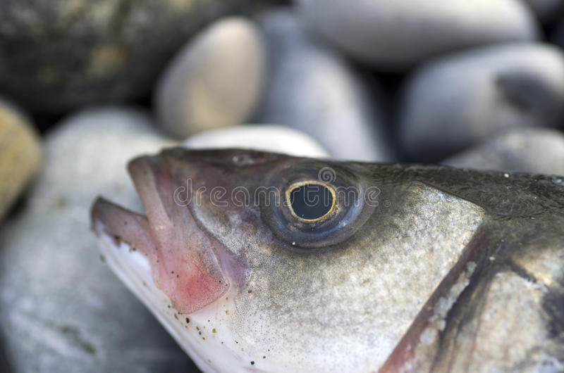 Sea bass royalty free stock image