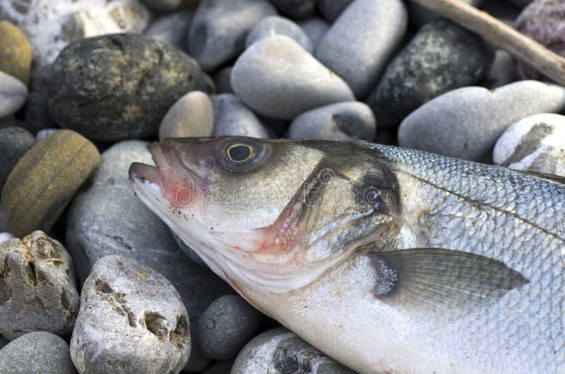 Sea bass. Close up of a sea bass on a beach stock photography
