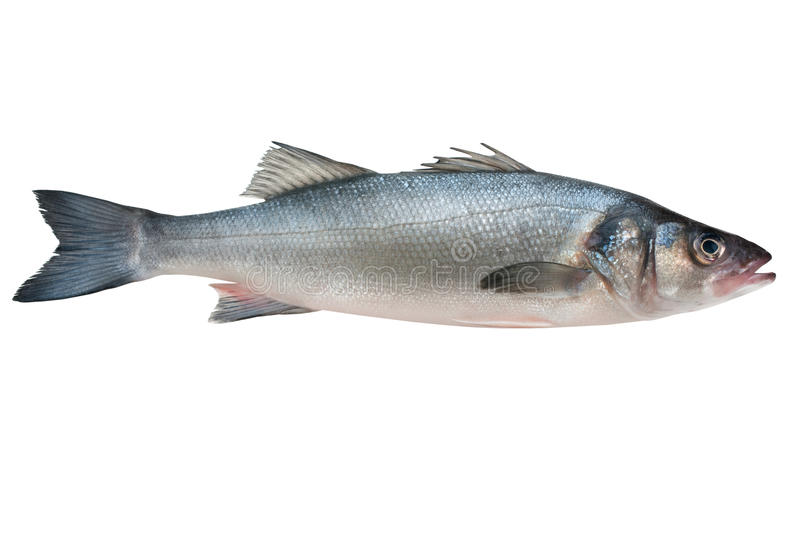 Sea-bass. Dicentrarchus labrax. Isolated on the white royalty free stock photos