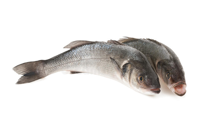 Sea bass. Two Sea bass isolated on white background stock photo