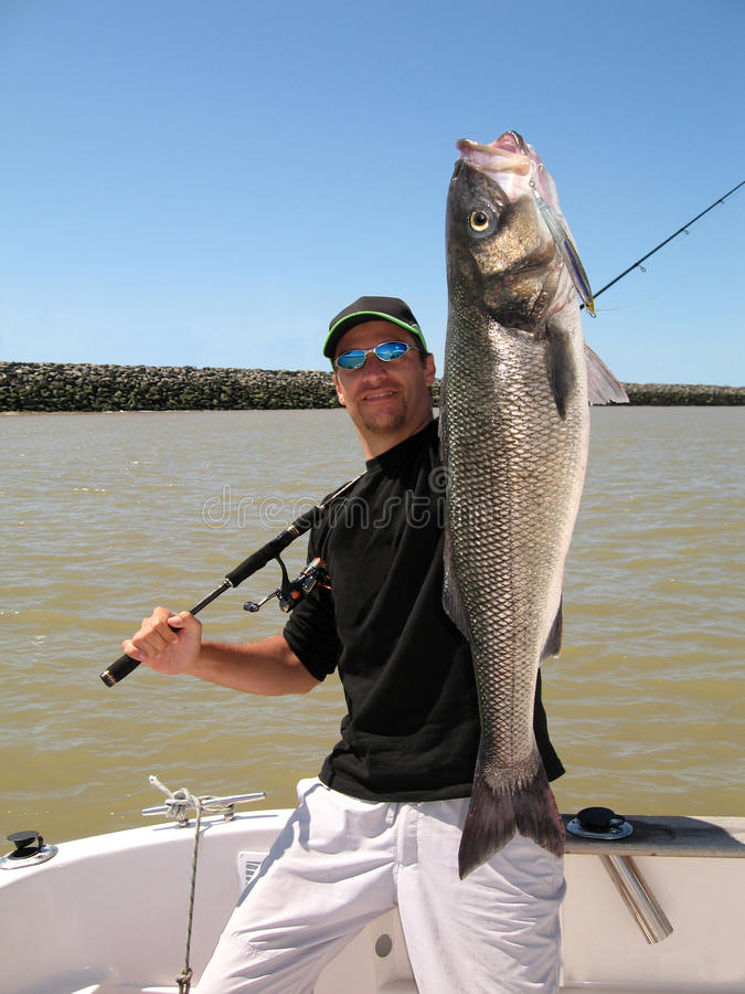 Sea bass. Catch of fish. Lucky fisherman holding a large sea bass stock photos