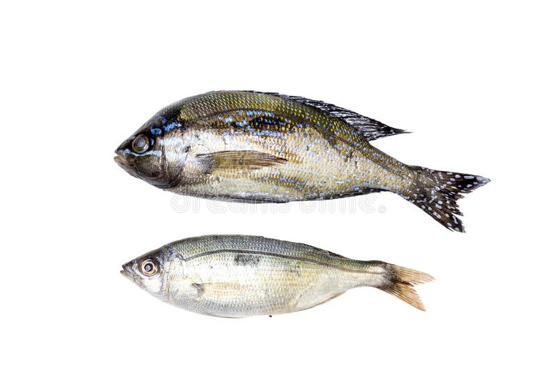 The sea bass. Sea bass closeup on a white background stock image