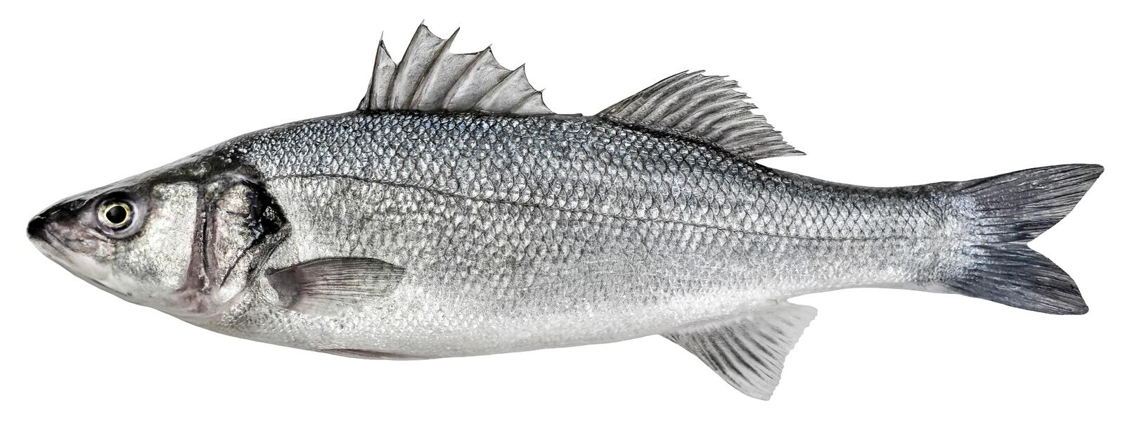 Sea bass fish. European bass isolated on white background royalty free stock photo