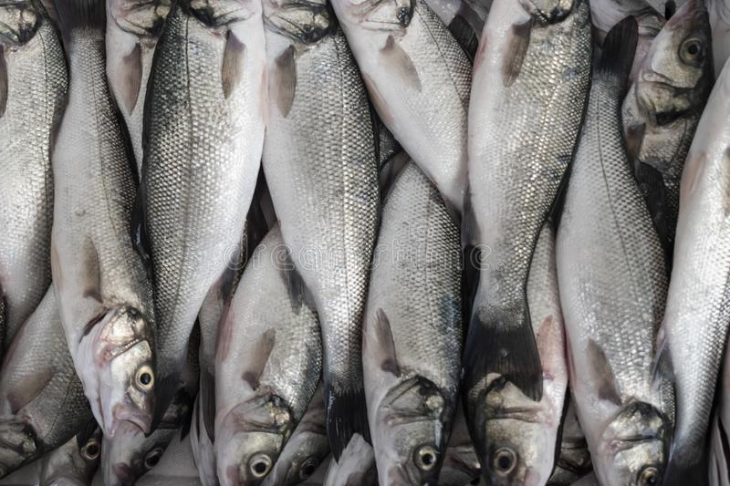 Sea Bass fish royalty free stock photography