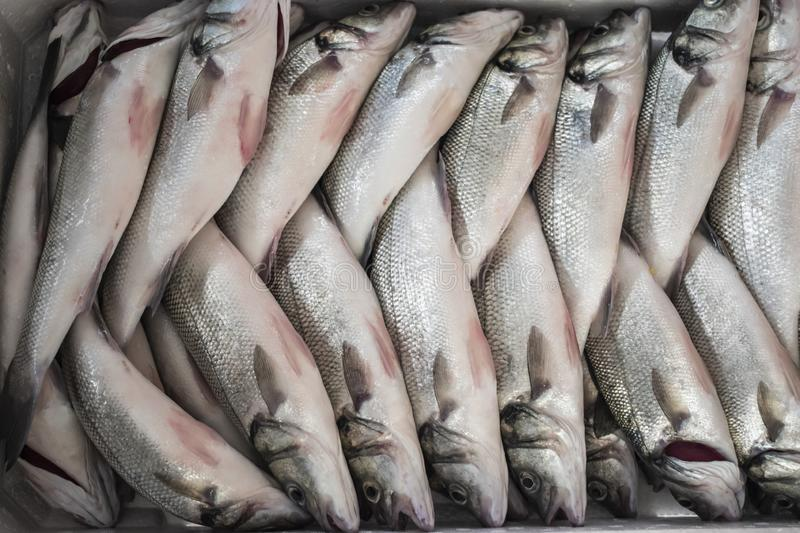Sea Bass fish. Freshly caught Sea Bass fish inside a container ready to put ice, fishing, fisheries, fishes, marked, food, market, box, animal, marine, seafood royalty free stock photos
