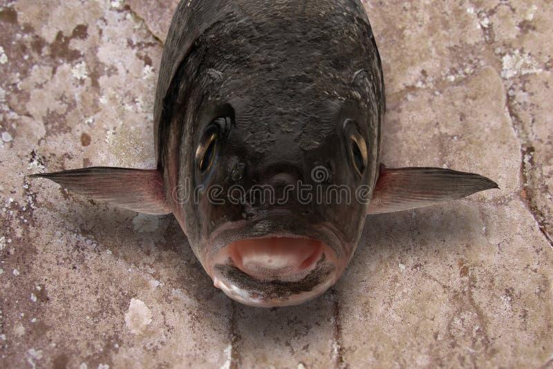 Sea bass fish head on stone. Slab royalty free stock photos