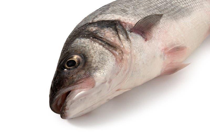 Sea bass fish head on white. Background stock photo