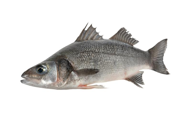 Sea bass fish royalty free stock images