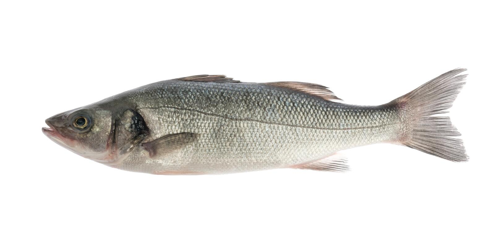 Sea bass fish isolated on white background stock photos