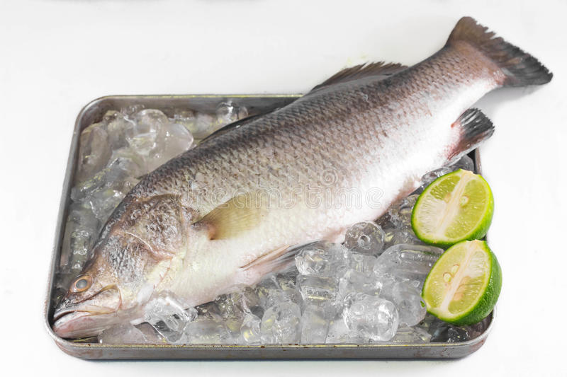 Sea bass on ice. Sea bass on ice isolated on white background stock image