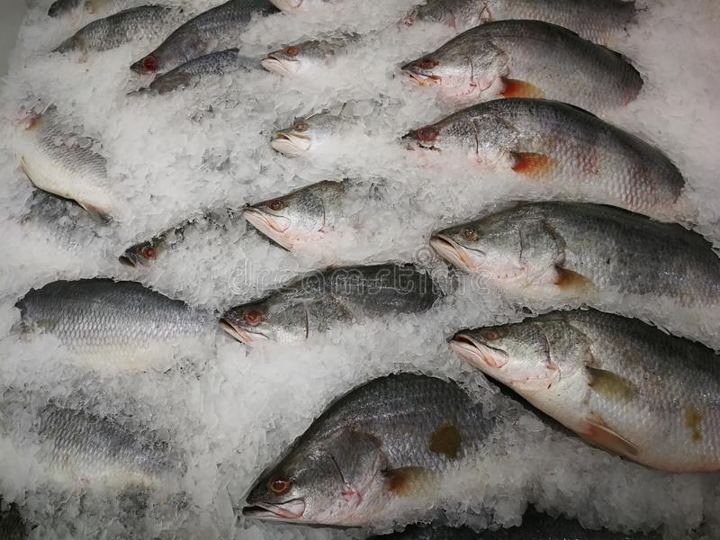 Sea Bass on Ice in the Market,Raw Seabasses on Ice in the Market. Sea bass in market with ice on ice on the market. ice cooled hakes on a fish royalty free stock image