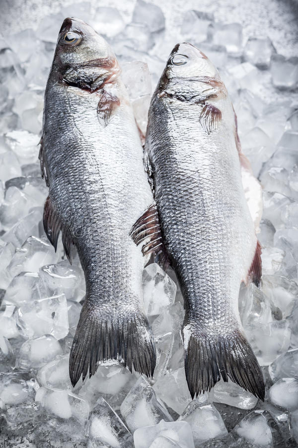 Sea bass on ice. Whole Sea bass on ice royalty free stock photos