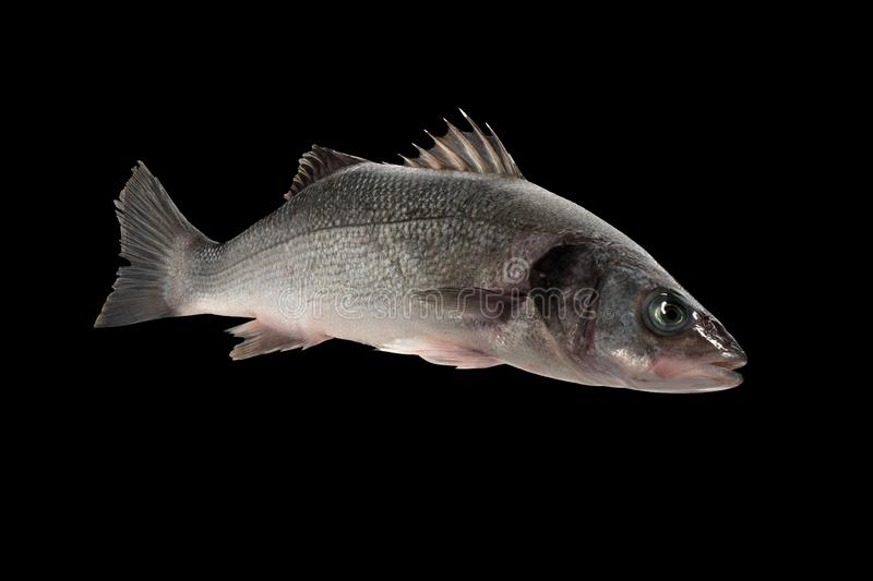 Sea bass live fish. Isolated on black background stock photo
