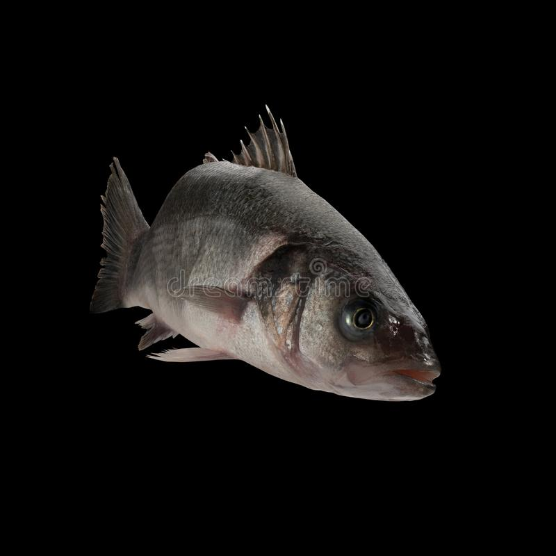 Sea bass live fish. Isolated on black background royalty free stock image