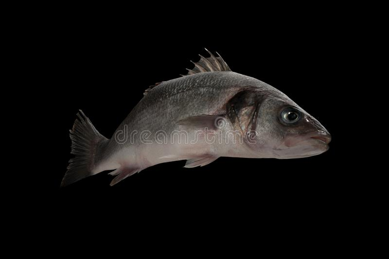 Sea bass live fish isolated on black stock photo