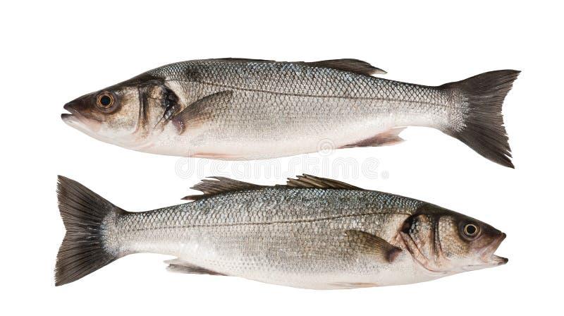 Sea bass stock photos