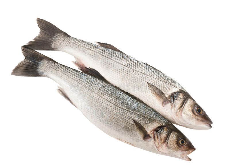 Sea bass. Two Sea bass isolated on white stock photos