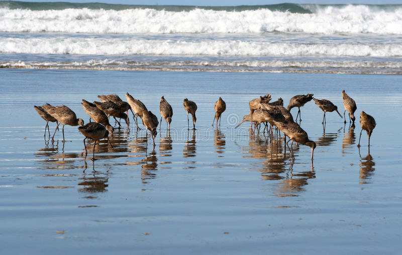 Sea Bird. Flock Of Long Beak Birds Feeding On Wet Beach Surf stock images