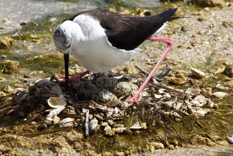 Sea Bird And Eggs On Beach Stock Image