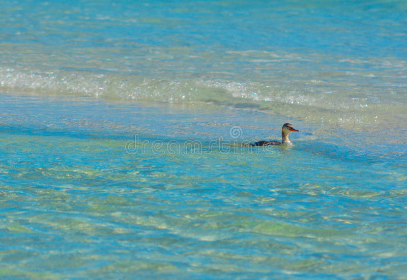 A Sea Bird looking for food in the shallow surf. royalty free stock photos