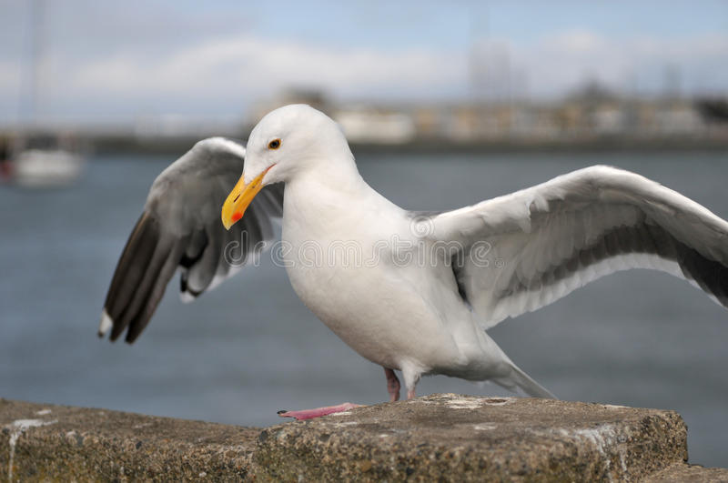 Download Sea bird seagull stock image. Image of outdoors, gull - 16076789