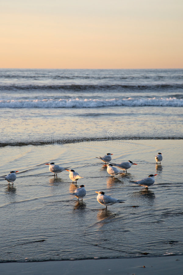 Sea Birds. A group of sea birds walks through the water in San Diego royalty free stock images