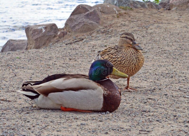 Sea birds on the beach royalty free stock photography