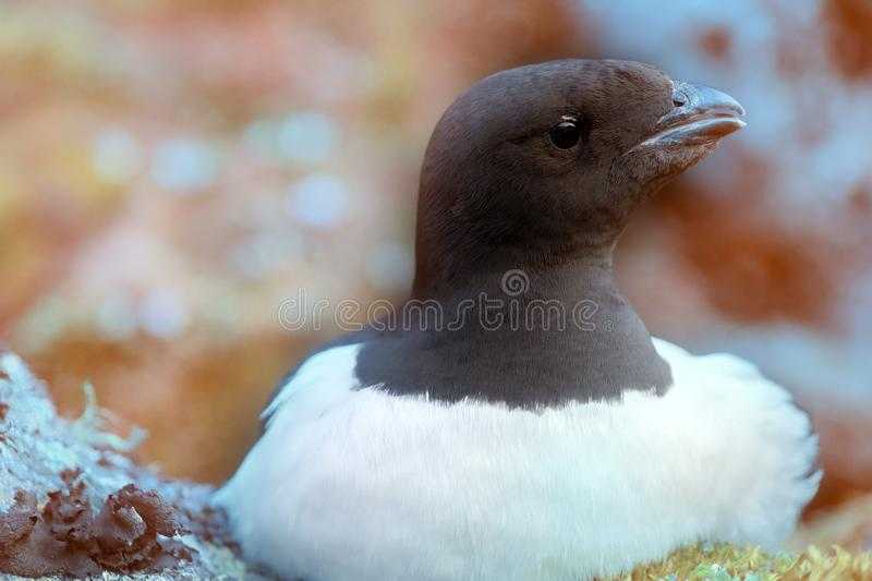 Little auk special subspecies stock image
