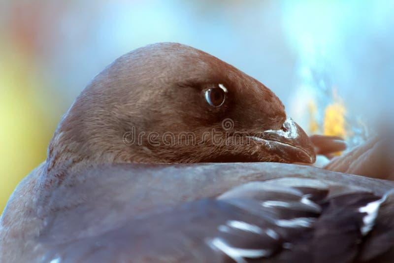 Little auk special subspecies. Sea birds of high Arctic (the North). Little auk special subspecies (Alle alle polaris), Franz-Josef Land royalty free stock photos
