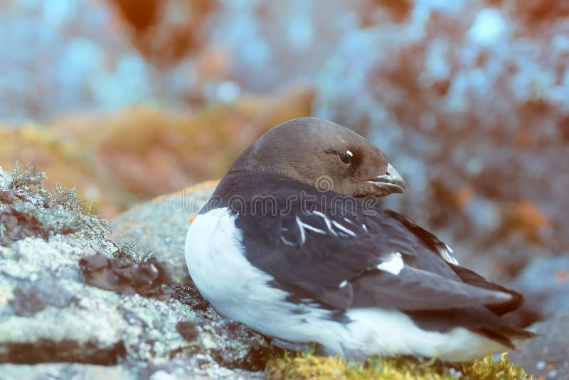 Little auk special subspecies. Sea birds of high Arctic (the North). Little auk special subspecies (Alle alle polaris), Franz-Josef Land stock photo