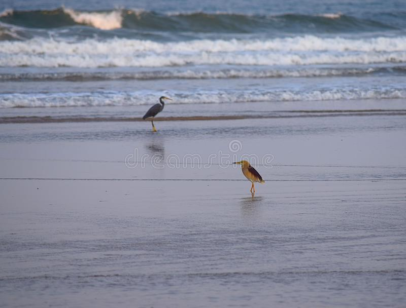 Sea Birds - Indian Pond Heron and Western Reef Heron on Beach royalty free stock images