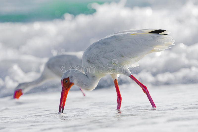 Sea Birds in Ocean stock photo