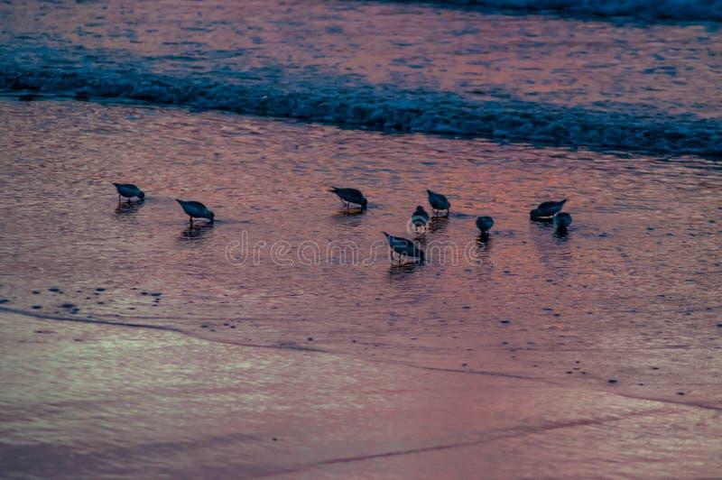Seabirds in surf. Sea birds in surf at sunrise stock image