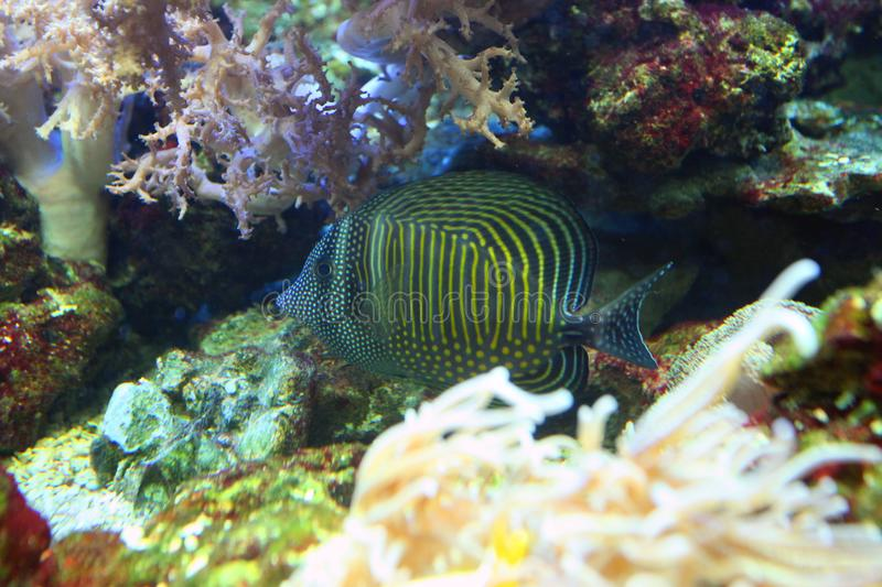 Sea blue fish with bright yellow stripes hiding under coral in a stock photo