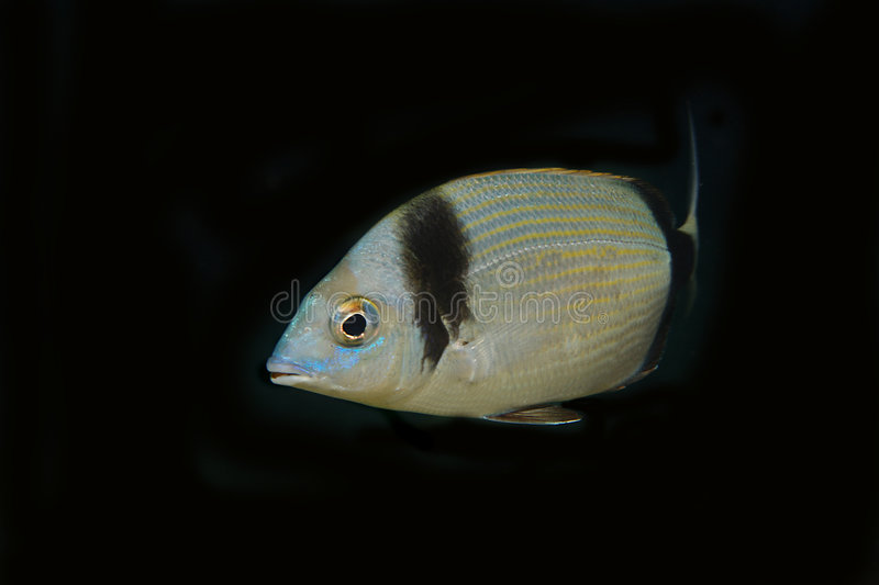 Sea Bream underwater with black background. An underwater photo of a single sea-bream. Black neutral background royalty free stock photography