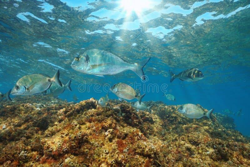 Sea bream fish underwater Mediterranean sea France. Sea breams fish underwater in the Mediterranean sea gilt head and white seabreams, France stock photography