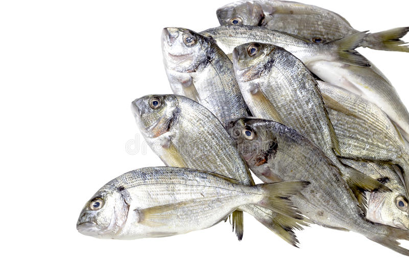 The sea bream. Sea bream on a white background closeup royalty free stock image