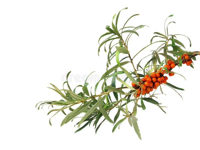 Download Sea-buckthorn Stock Photo - Image: 10664510