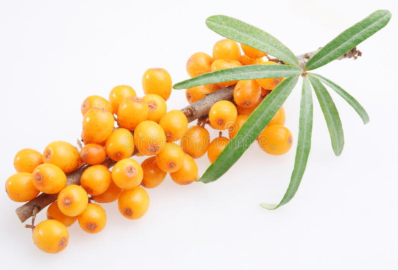 Sea buckthorn. On a white background stock images