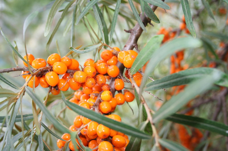 Sea-buckthorn royalty free stock images