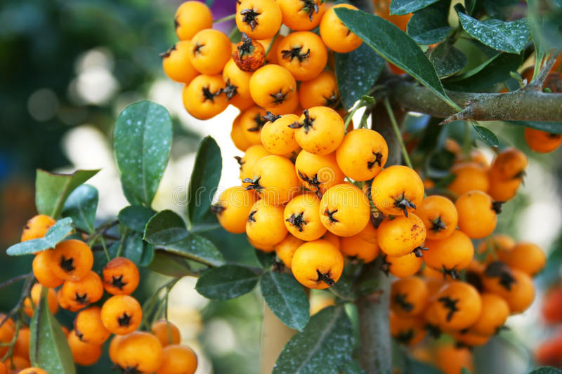 Sea buckthorn. Berries branch closeup picture stock image