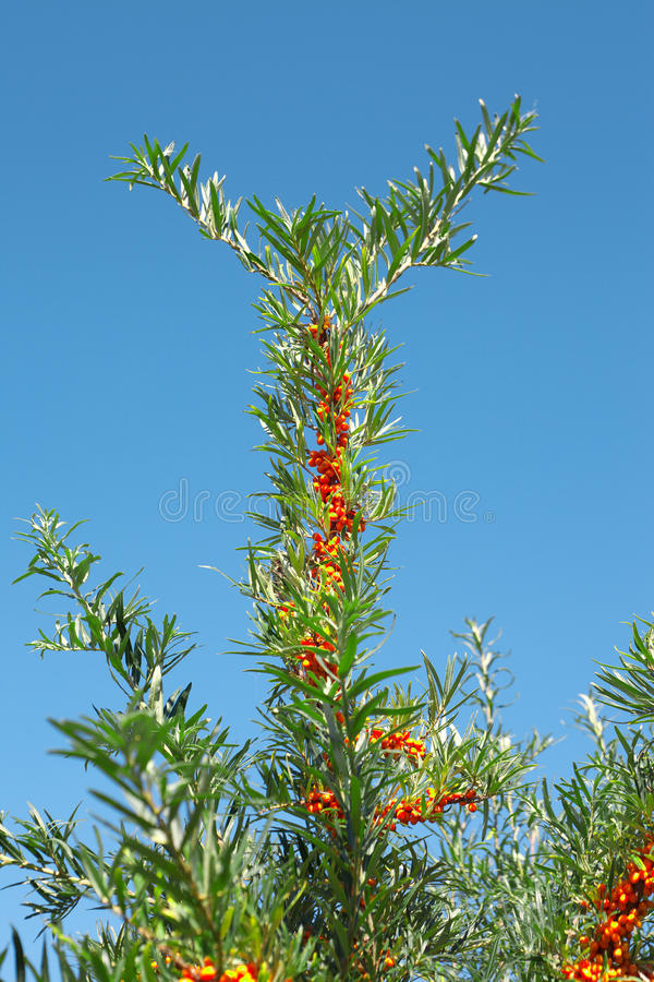Download Sea buckthorn. stock image. Image of plant, nature, vitamin - 26422413