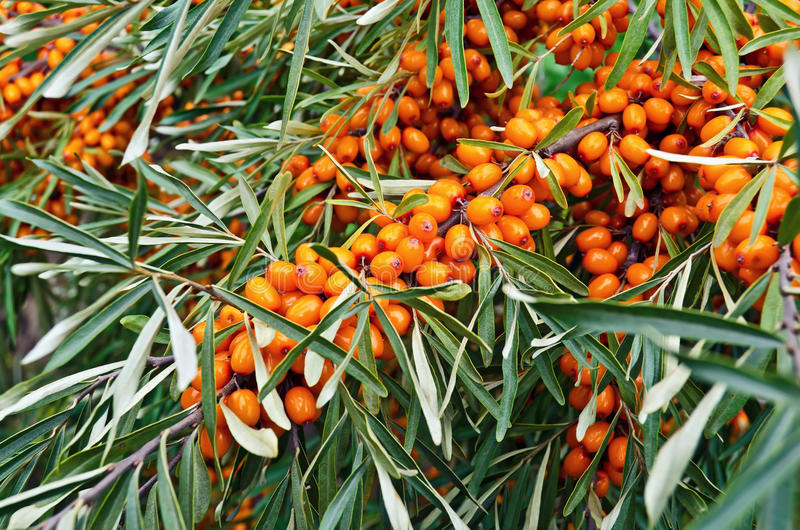 Sea buckthorn. Branch with berries of sea buckthorn on a background of green leaves stock photos