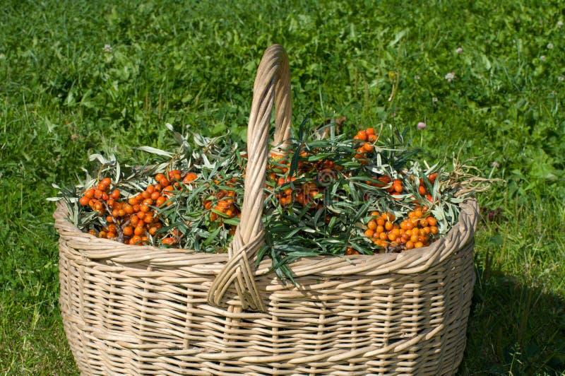 Sea-buckthorn berries. royalty free stock photo