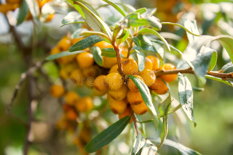 The sea-buckthorn berries on the branch royalty free stock photo