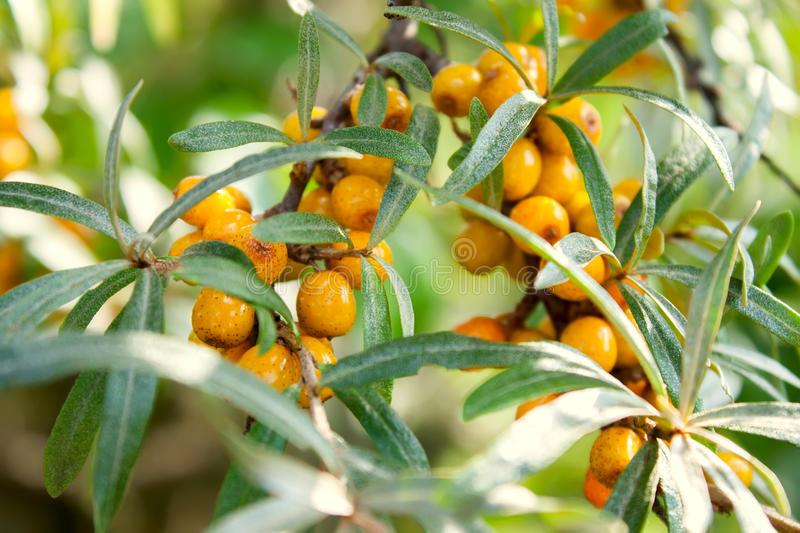 The sea-buckthorn berries on the branch royalty free stock images