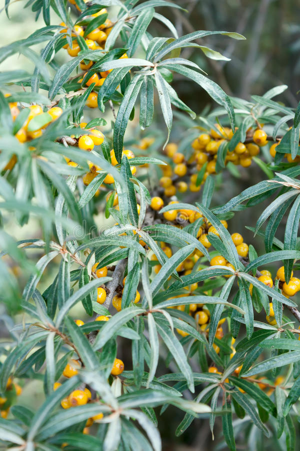 The sea-buckthorn berries on branch royalty free stock images